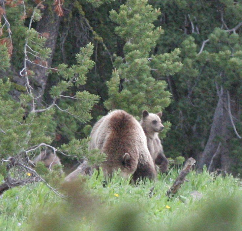 ours sur le trail
