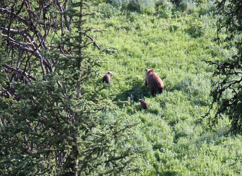 grizzli en contre bas
